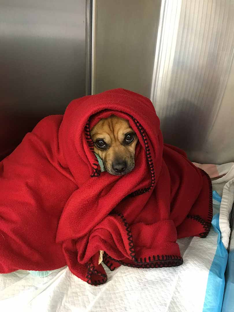 Little Dog Wrapped In Red Blanket